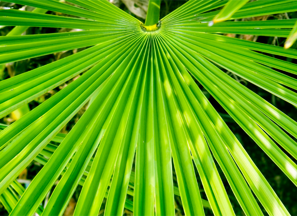 CRO_Health_Saw_Palmetto_Plant_01-15