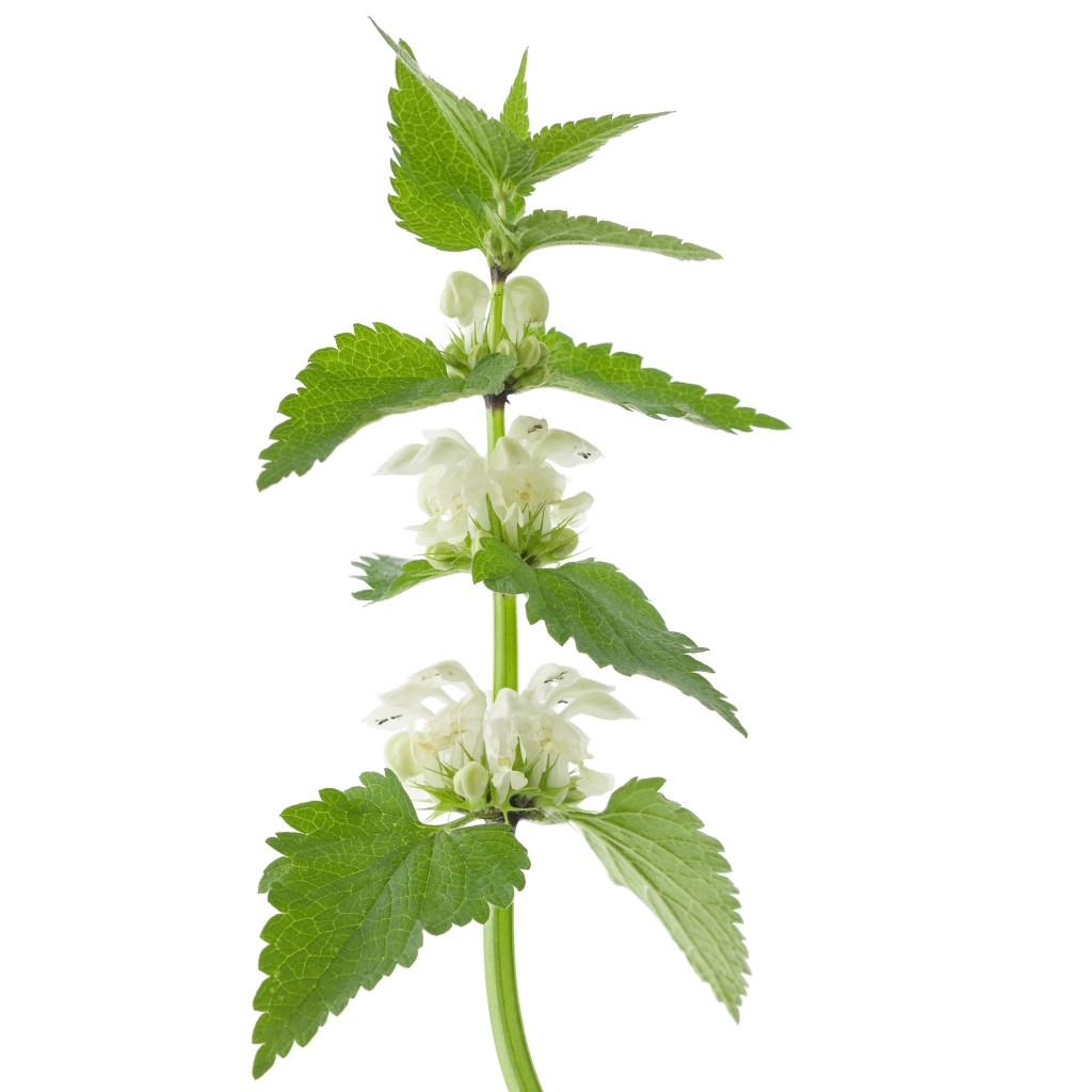 natural_skincare_ingredient_nettle_oil-1